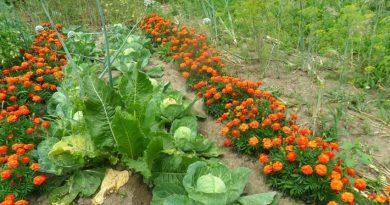 Растения лоши съседи. Кои са те? Сред градинските растения се срещат по-често отношения на взаимопомощ, отколкото на вражда. Следвай ме - У дома