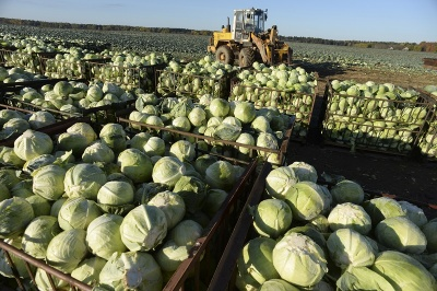 Как да не изпуснем добрата реколта от зеле? Инфекцията се предава от заразени семена, тя може да се съхрани и в растителни остатъци в почвата от минали реколти. Следзвай ме - у дома.