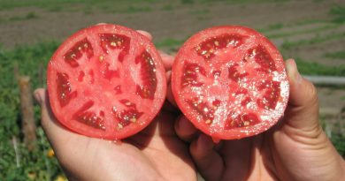 Как да съберем семената от хубавите домати без загуби? най-големият размер не е типичен за дадения сорт. Доматите от втората реколта не стават за семе, тъй като те дават по-дребни плодове.