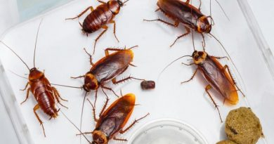 Борна киселина изтребва хлебарките до крак. . Примамката привлича хлебарките, борната киселина свършва останалото.