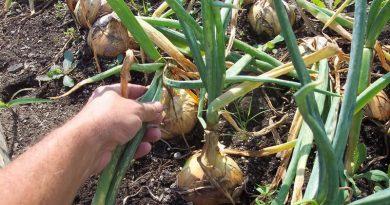 Тънкостите в отглеждането на кромид лук . за Увеличаване на реколтата от кромид лук и тя е в по-особеното поливане. Не го засаждайте и там, където миналата година сте оглеждали домати, моркови и чесън.
