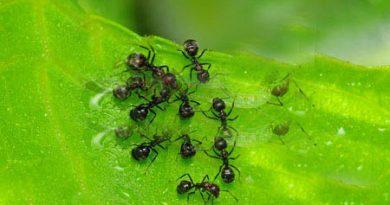Сол и листа от бъз прогонват мравките. Изцедете лимони и със сока напръскайте местата, откъдето забелязвате, че те излизат. Напръскайте и около рамките на прозорците. Същият ефект има и настърганата лимонова кора. Следвай ме - У дома