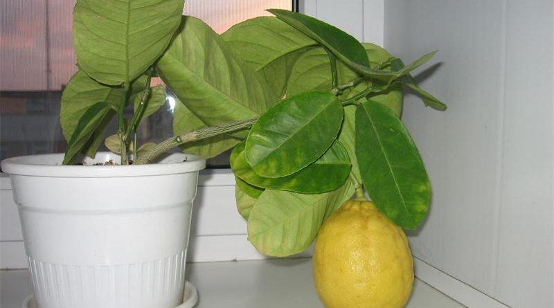 """Капризите на стайния лимон. Как бързо да го размножим? Който се е захванал да отглежда лимони знае, че най-трудно е тяхното размножаване – издънки и ашладисване, без които растението не дава плодове. За да се стигне до реколтата са необходими 1,5 – 2 години. След това следва ашладисването от културно растение. За това е необходимо още време, а и не е сигурно, че """"мероприятието"""" се ще увенчае с успех. Затова и мнозина, макар и да искат много да имат стайно лимоното дърво, не се наемат да го завъдят. Следвай ме - У дома"""