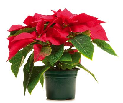За Рождество Христово сте получили коледна звезда в саксия. Миналата година пак получихте такъв подарък, но растението така и не оцеля повече от месец. Този път обаче искате да го запазите така, че да цъфти и догодина. Как да постигнете това? Следвай ме - У дома