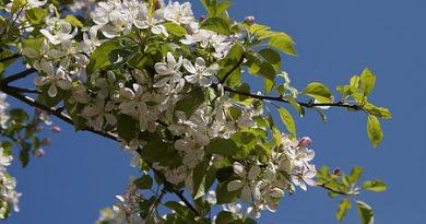 Как да подхраним младото ябълково дърво? Плодните дръвчета извличат от почвата голямо количество от полезните й съставки, с които се хранят. С годините тя обеднява и ако не бъде подхранена, качествена реколта не е възможна. Особено чувствителни са ябълковите насаждения. Когато те са обезпечени с макро и микроелементи, синтезирани белтъци, витамини и други биологично активно вещества, растат бързо. В резултат, макар и млади, могат да дадат добра реколта от вкусни плодове. Следвай ме - У дома
