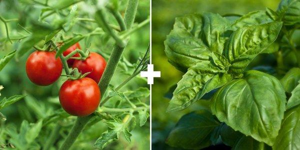 Растенията могат да бъдат приятели помежду си в градината, т.е. едни от тях да предпазват други от вредители и да обогатяват почвата. Фермерската практика познава и обратния ефект – на пълна несъвместимост. Ако обаче съблюдавате правилата за съчетаемост на едни с други насаждения, можете не само да избегнете куп неприятности, но и да увеличите реколтата си. Следвайме - У дома
