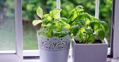 Саксийка босилек на прозореца или в градината близо до вилата, както и няколко стръка невен пъдят комарите далече. Следвай ме - У дома
