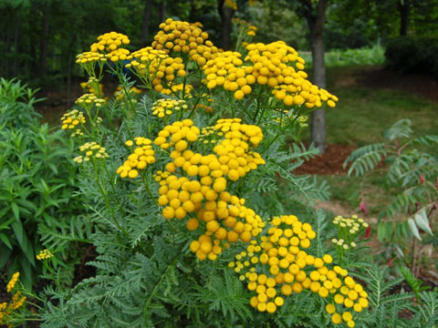Стрък вратига е в състояние да прогони колорадския бръмбар далече от картофите и другите насадения в градината. Следвай ме - У дома