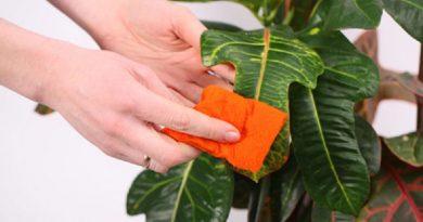 Стайни растения – вампири и помощници. За растенията е важно не само да бъдат засадени в качествена почва и поливани, но и любовта на човека към тях. Те връщат с лихва положените за тях грижи, като радват стопанина си и му доставят удоволствие със своите цветове. Смята се, че те обират събраната през деня негативна енергия в стаята и я изчистват. Езотериците твърдят, че аурата на растенията е много сложна. Следвай ме - У дома