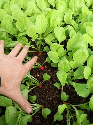 Оранжерийните тайни на репичките Репичките са най-непретенциозния и бързо узряващ зеленчук през пролетта. Мнозина ги отглеждат в оранжерия или парник дори до началото на лятото. Следвай ме - У дома