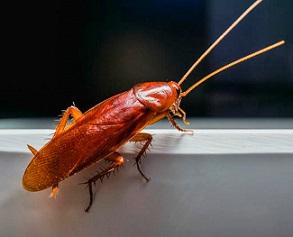 Хлебарки пренасят 2 щама на полиомиелит Как се прави безотказен капан за тях от боракс и нишесте? Хлебарките, този досаден древен вид членестоноги имат способността да оцеляват при тежки условия. Освен крайно неприятният им вид, те могат да са източник на изключително опасни заболявания. Следвай ме - У дома