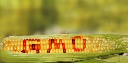 Разрешиха ГМО семената за научна употреба у нас. Следвай ме - Здраве