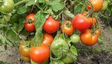 Време е за късните домати и корнишони До 10 – 15 юли е времето, в което се засаждат късните домати. По това време се сеят и семената на късните корнишони. Следвай ме - У дома