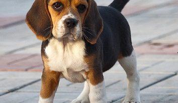 Кучета имитират чувство на вина