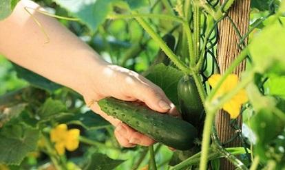 Семената от домашните краставици се събират много лесно, съхраняват се продължително време, дори до 6 години. Събрани веднъж обаче, те не бива да се засаждат на следващата година, защото няма да се получи очакваната реколта. Необходмо е да престоят 2-4 години. Следвай ме - У дома