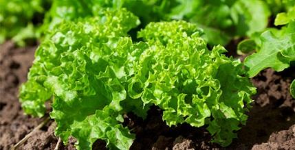 Време е за засаждане на есенните салати Все още сме в сезона на свежите зеленчуци. Можем да си осигурим по-продължително време пресни салати, дори в напреднала есен, ако тя е топла и ги засадим сега. Следвай ме - У дома