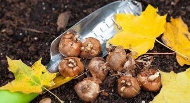 Тънкости в засаждането на луковиците Септември и началото на октомври, ако времето идния месец е топло, е периодът за засаждане на градинските цветя с луковици. Следвай ме - Хоби