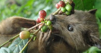 Най-скъпото кафе в света е от маймунско ако. Следвай ме - Гурме