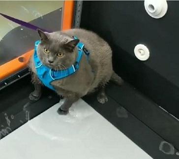 Изпратиха дебела котка на фитнес Сложиха я на диета, животинчето тежи 11 кг. Следвай ме - Хоби
