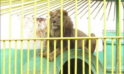 Лъвът Любо окуця, разследват зоокъта в Разград Менажерията нямала договор с ветеринарна клиника. Следвай ме - Хоби