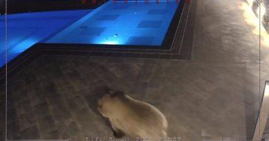 Упояват с инжекция мечето от басейна, за да спи зимен сън Как да се опазим, ако срещнем мечка в гората? Следвай ме - Общество