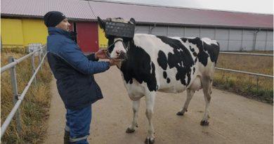 С очила за виртуална реалност руски крави ще дават повече мляко. Следвай ме - Общество