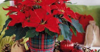 """Коледната звезда – красива, но отровна за деца и домашни любимци Легенда свързва """"похристиянчването"""" й с ацтеките. Следвай ме - У дома"""