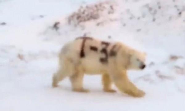 Вандали изписаха със спрей име на основния руски танка Т-34 върху гърба на бяла мечка. Скандалните кадри с омаскареното животно в социалните мрежи шокираха природозащитниците и гражданите. Следвай ме- Шоу