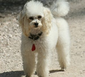 """Британци смятат да обучават кучета да откриват Covid-19 при заразени пациенти, съобщи БТА, позовавайки се на Франс прес. Британската асоциация """"Медикъл дитекшън догс"""" в сътрудничество с Лондонското училище по хигиена и тропическа медицина си партнират в осъществяването на интензивна тренировъчна програма. Следвай ме - Шоу"""