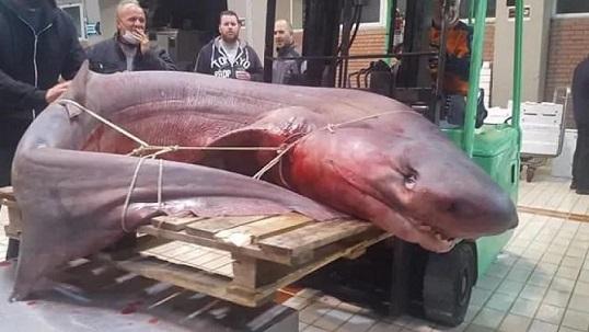 Гръцки рибари с траулери уловиха огромна акула, тежаща 330 килограма. Уловът, на който мнозина биха завидяли, е направен миналия четвъртък край северния гръцки пристанищен град Кавала. Следвай ме - Хоби/Шоу