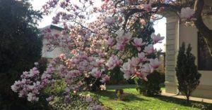 Магнолията – бисерът в градината. Тънкости в засаждането Изберете й място бе пряко излагане на силен вятър. Следвай ме - У дома