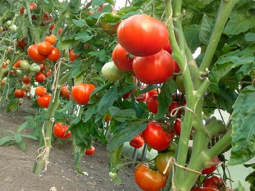 Евтини начини за двойна реколта домати. Следвай ме - У дома