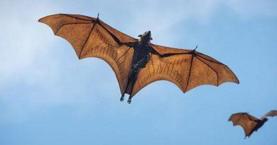 Гигантска летяща лисица във Филипините Калонгът е с размах на крилете 1,7 метра. Следвай ме - Хоби/Шоу