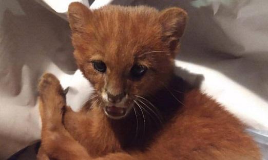 Девойка си взе ягуарунди за коте Това е дребен вид дива котка от рода на ягуарите. Следвай ме - Хоби / Шоу