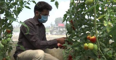 Индийци правят зимен домат от български семен Следвай ме - У дома