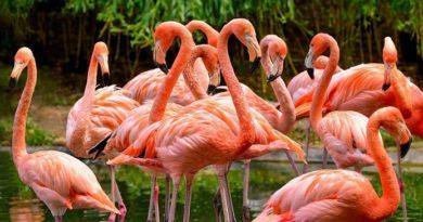 Розовото фламинго се върна в Кения, Следвай ме - Хоби / Шоу
