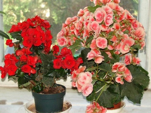 Домашни цветя носят пари и успех Домашни цветя носят пари, успех и любов. Това са знаели старели бългаи от незапомнени времена. Знаели са го и много други народи.