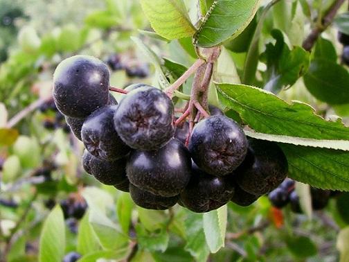 Сок от арония и зелен чай убиват коронавируса Някои сокове могат да помогнат на тялото ефективно да се бори с коронавируса, според изследване на Института по молекулярна вирусология към Медицинския център на Университета в Улм – Русия, публикувано в bioRxiv. Следвай ме - Здраве