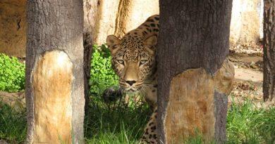 В Софийския зоопарк вече и персийски леопард Зоологическата градина в София получи женски персийски леопард от Зоопарк Шошто Нирегихаза в Унгария, съобщиха от Столичната община. Персийката е на 3 години и се казва Азара. Следвай ме - Общество