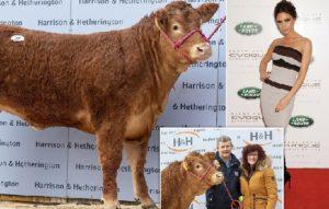 Крава съименничка на Виктория Бекъм продадена 299 000 евро. Следвай ме - Хоби / Шоу