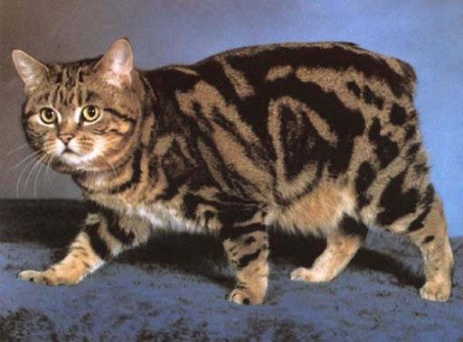 Кой откъсна опашката на котката Манкс Обожават плуването и следват неотлъчно стопанина по петите. Следвай ме - Хоби / Шоу