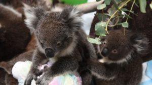 Беб коала се показа за пръв път пред публика, Следвай ме - Хоби / Шоу