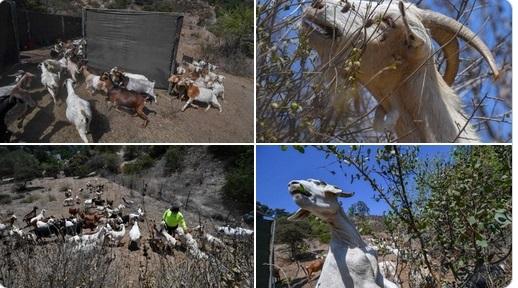 Кози помагат на огнеборците в САЩ. Следвай ме - Общество