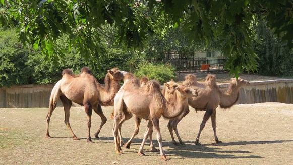 4 нови двугърби камили в столичния зоопарк Очакват се група червени ибиси и кенгура валаби Следвай ме - Хоби / Шоу